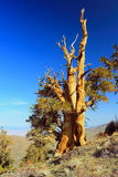 古老Bristlecone杉木,白色山,加利福尼亚 图库摄影