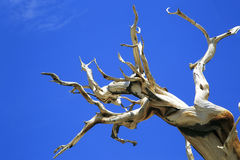古老Bristlecone杉树,加利福尼亚 免版税库存图片