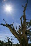 古老Bristlecone杉树,加利福尼亚 库存图片