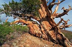 古老bristlecone杉树 图库摄影