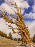 古老Bristlecone树 库存照片
