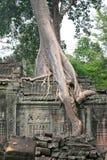 古老cambodja结构树墙壁 图库摄影
