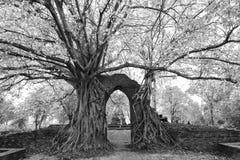古老Pho或Bodhi树的奇迹榕属religiosa t 免版税库存照片