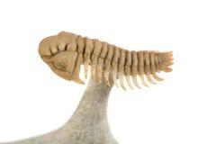 古老trilobite特写镜头 库存照片