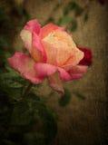 古色古香的桃红色和黄色玫瑰 库存图片
