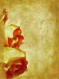古色古香的玫瑰 库存图片