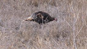 古铜色品种家养的火鸡在一个冬天围场吃草在乡下 自然在村庄,雪 股票录像