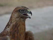 古铜色颜色幼小鹰与开放额嘴的 库存图片