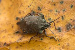 古铜色shieldbug,在桦树叶子的Troilus luridus 免版税库存照片