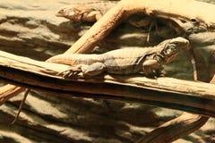 古巴地面鬣鳞蜥 免版税库存照片