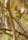 古巴捕虫鸣鸟 库存照片