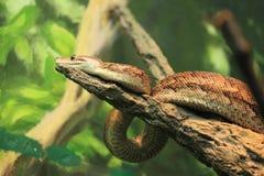 古巴结构树蟒蛇 库存照片