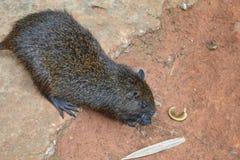 古巴树鼠 库存照片