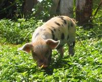 古巴的动物 免版税库存图片