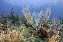 古巴的珊瑚礁 免版税库存图片