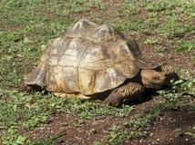 古巴的草龟 图库摄影