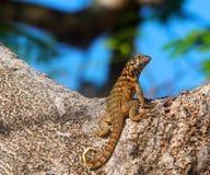 古巴的蜥蜴 库存照片
