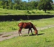 古巴的马 库存照片