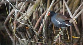 古巴美洲红树沼泽 库存照片