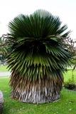 古巴衬裙棕榈树 免版税库存图片