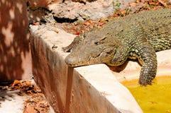 古巴鳄鱼在动物园里 免版税图库摄影