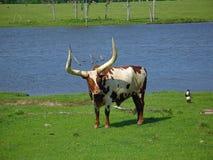另一公牛watusi 免版税库存照片