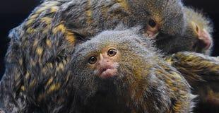 另一只小猿专心地修饰的小猿猴子 免版税图库摄影