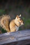 另一只灰鼠 免版税库存照片