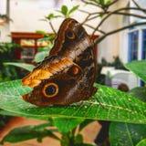 另一只蝴蝶 图库摄影