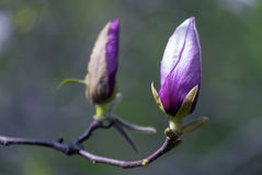 以另一朵花为背景的紫色木兰花 图库摄影