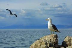 另一飞行s海鸥注意 库存图片