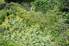另外绿色灌木和草本背景 库存照片