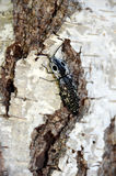 叩头虫`被注视的elator ` Alaus oculatus拷贝空间 图库摄影