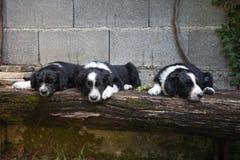 6只几星期年纪小狗-睡觉在长凳的博德牧羊犬 库存图片