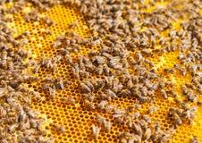 8只另外的蜂eps格式蜂窝以图例解释者 图库摄影