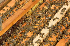8只另外的蜂eps格式蜂窝以图例解释者 免版税图库摄影