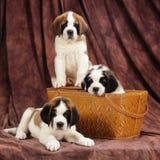 3只圣伯纳德小狗 免版税库存照片