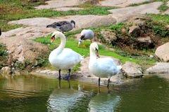 2只在湖岸的白色天鹅立场 免版税库存照片