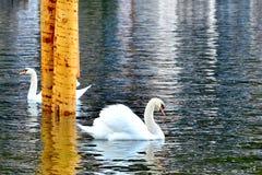 2只天鹅在Hallstatt湖 免版税图库摄影
