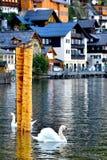 2只天鹅在Hallstatt湖 图库摄影