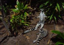 2只幼小环纹尾的狐猴的凝思 库存图片