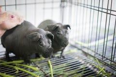 2只无毛的豚鼠鼠吃食物 免版税库存图片
