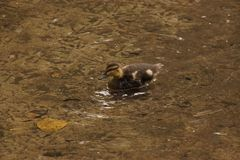 只游泳的鸭子-法国 库存图片