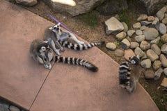 3只环纹尾的狐猴 库存图片