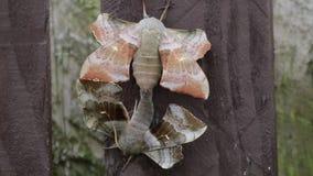 2只白杨树鹰飞蛾, Laothoe populi,交配在庭院篱芭,苏格兰, 6月 股票录像