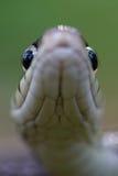 2只眼睛蛇 免版税库存照片
