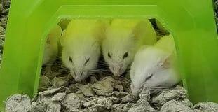3只瞎的老鼠 免版税库存照片