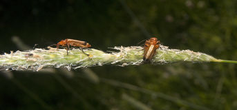 3只红色昆虫 图库摄影