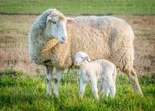 2只羊羔绵羊 库存图片