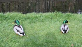 2只美丽的鸭子在池塘旁边的草甸在荷兰的乡下 库存照片
